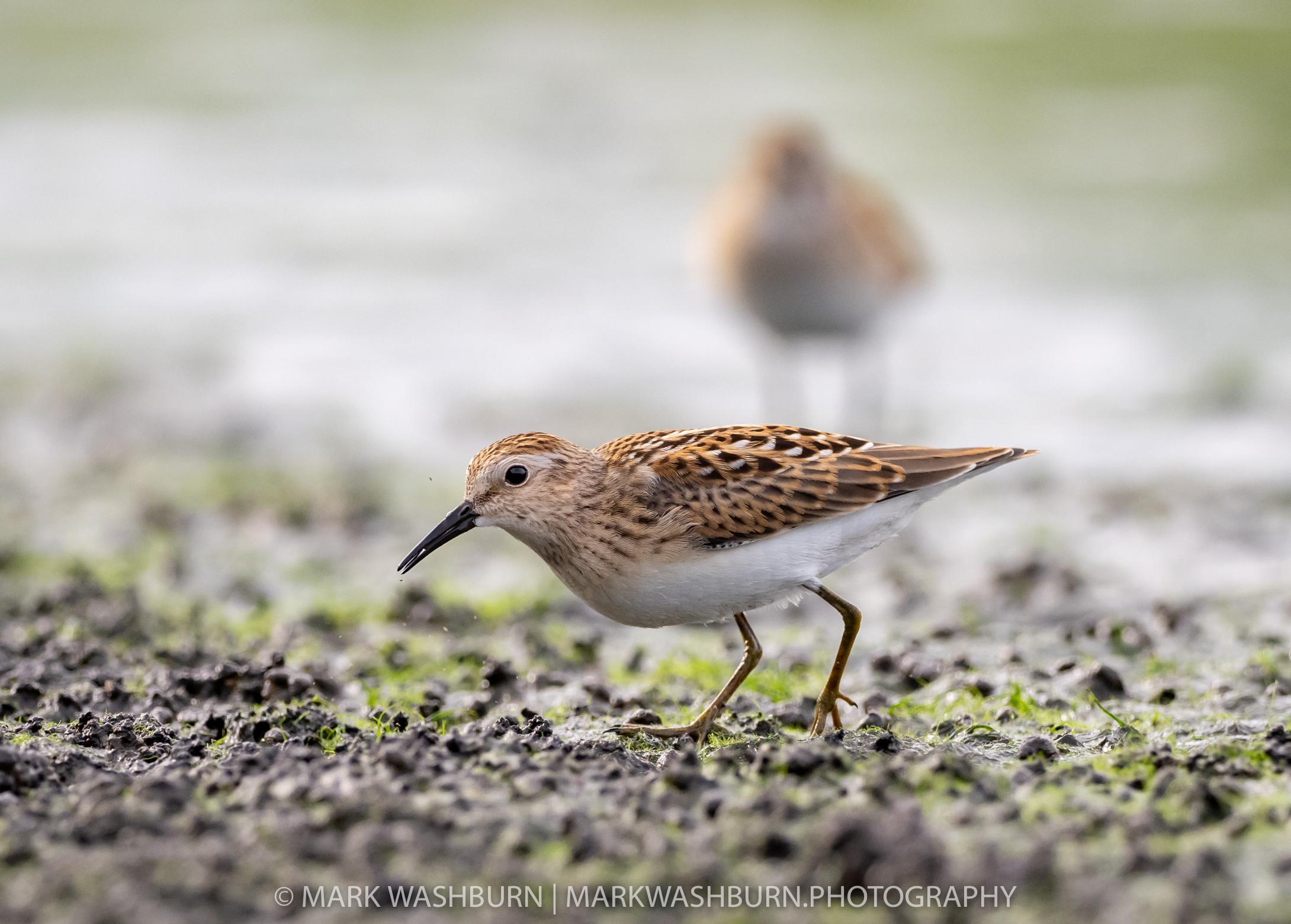 Tiny Shorebirds